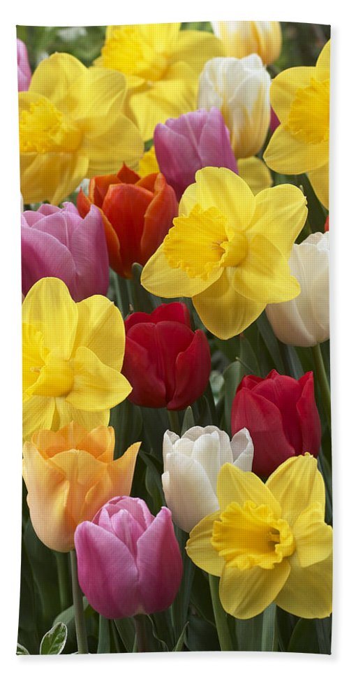 Vp Hand Towel featuring the photograph Daffodil Narcissus Sp Lucky Number by VisionsPictures
