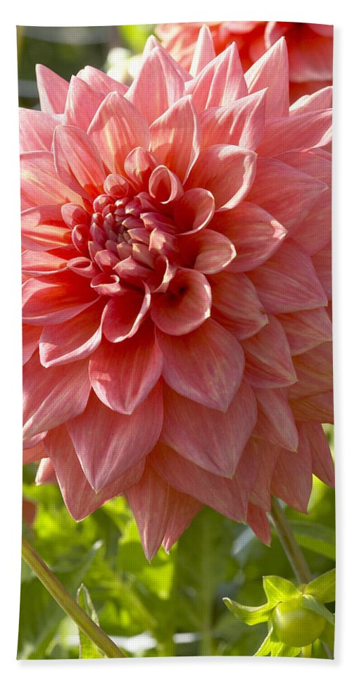Vp Hand Towel featuring the photograph Dahlia Dahlia Sp Beverly Fly Variety by VisionsPictures