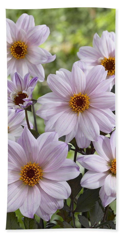 Vp Hand Towel featuring the photograph Dahlia Dahlia Sp Bishop Of Leicester by VisionsPictures