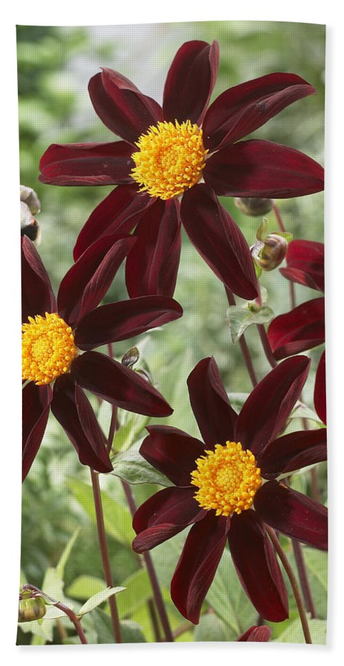Vp Hand Towel featuring the photograph Dahlia Dahlia Sp Honka Black Variety by VisionsPictures