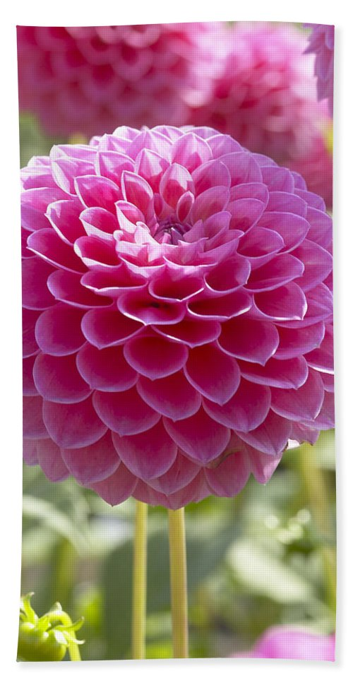 Vp Hand Towel featuring the photograph Dahlia Dahlia Sp Lindas Baby Variety by VisionsPictures