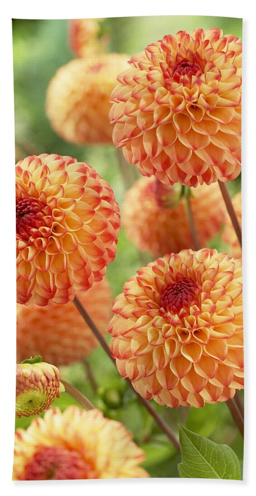 Vp Hand Towel featuring the photograph Dahlia Dahlia Sp Mirella Variety Flowers by VisionsPictures