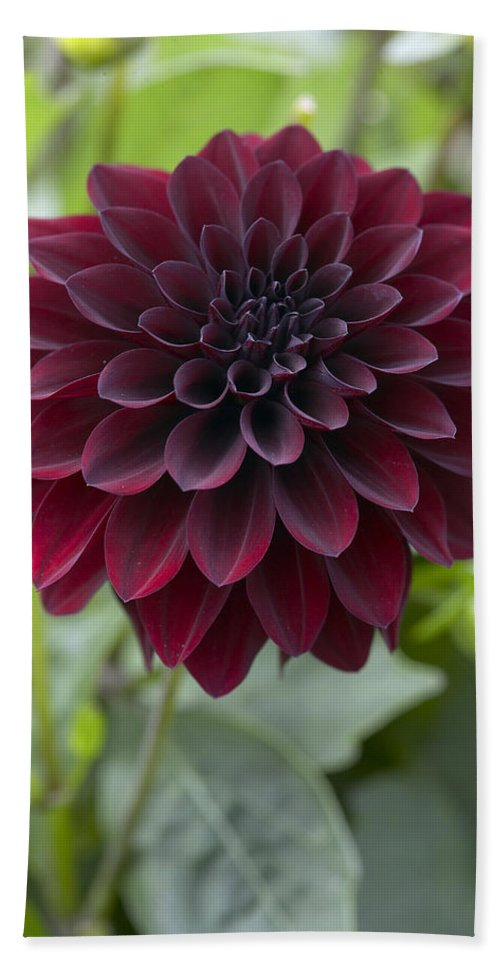 Vp Hand Towel featuring the photograph Dahlia Dahlia Sp Ronaldo Variety Flower by VisionsPictures