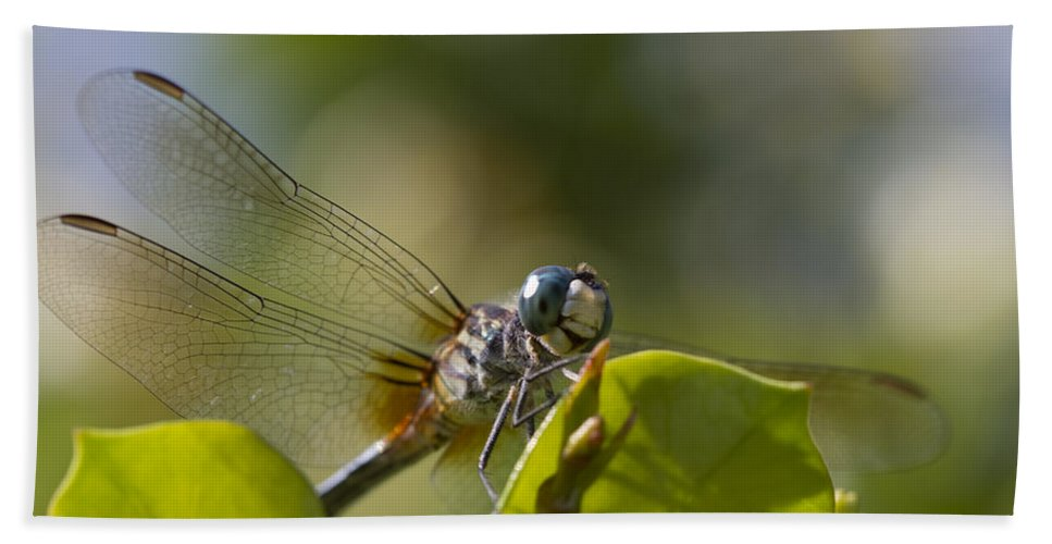 Libellula Vibrans Hand Towel featuring the photograph Dazzling Blue Skimmer by Kathy Clark
