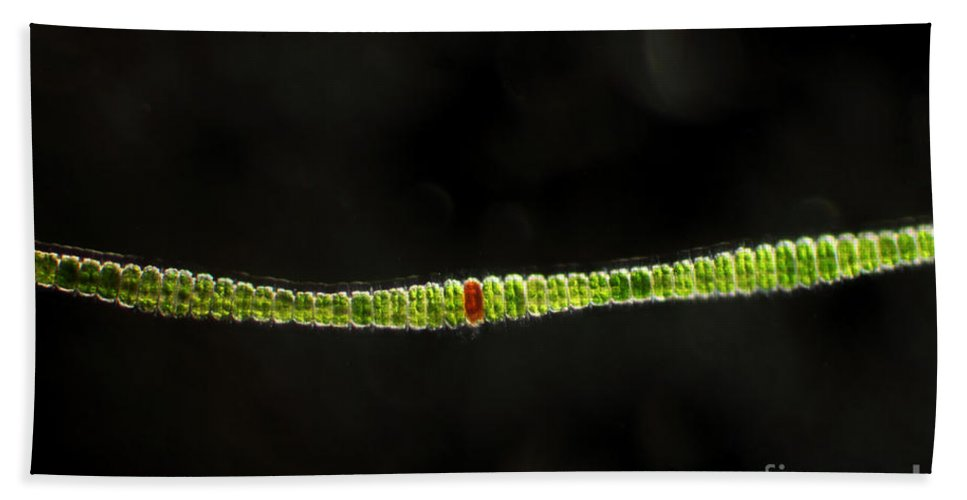 Science Hand Towel featuring the photograph Desmidium Sp. Green Algae, Lm by Ted Kinsman
