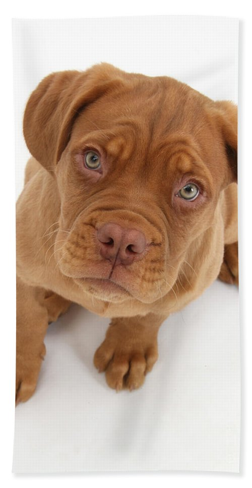 Animal Hand Towel featuring the photograph Dogue De Bordeaux Puppy by Mark Taylor