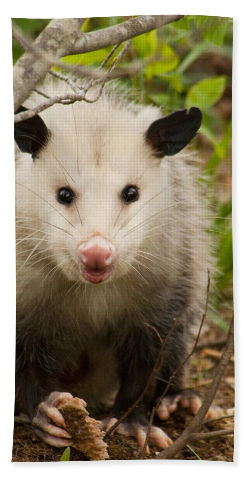 Didelphimorphia Hand Towel featuring the photograph Don't Mess With Me Opossum by Kathy Clark