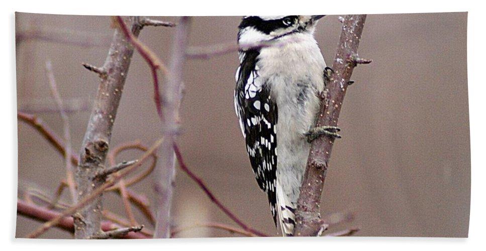 Downy Bath Sheet featuring the photograph Downy Woodpecker 1 by Joe Faherty