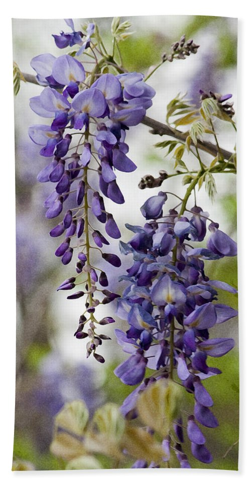 Hygrophila Difformis Bath Sheet featuring the photograph Draping Lavender Purple Wisteria Vines by Kathy Clark