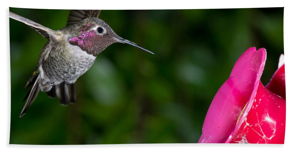 Hummingbird Bath Sheet featuring the photograph Drinking Time by Greg Nyquist