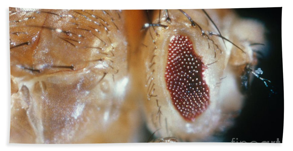 Macro Photo Hand Towel featuring the photograph Drosophila Mutant With Bar Eyes by Science Source