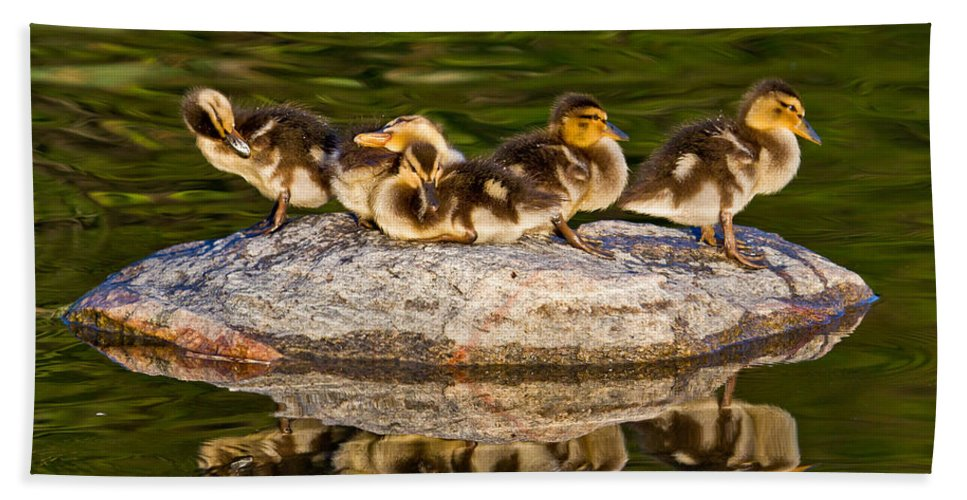 Duck Bath Sheet featuring the photograph Ducklings Catch Some Rays by Bill Lindsay