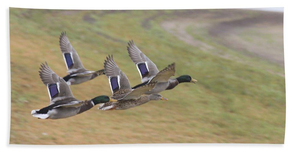 Ducks In Flight Bath Sheet featuring the photograph Ducks In Flight V3 by Douglas Barnard