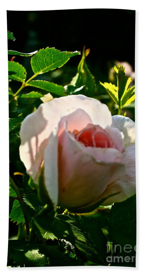 Plant Bath Sheet featuring the photograph Early Rose by Susan Herber