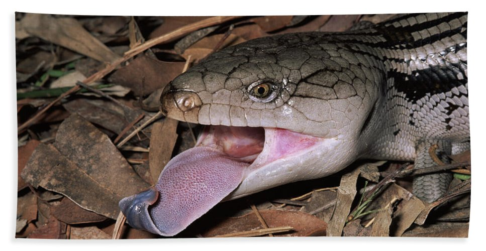 Mp Hand Towel featuring the photograph Eastern Blue-tongue Skink Threat Display by Michael and Patricia Fogden
