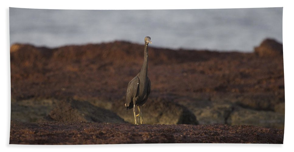 Eastern Reef Egret Bath Sheet featuring the photograph Eastern Reef Egret-dark Morph by Douglas Barnard