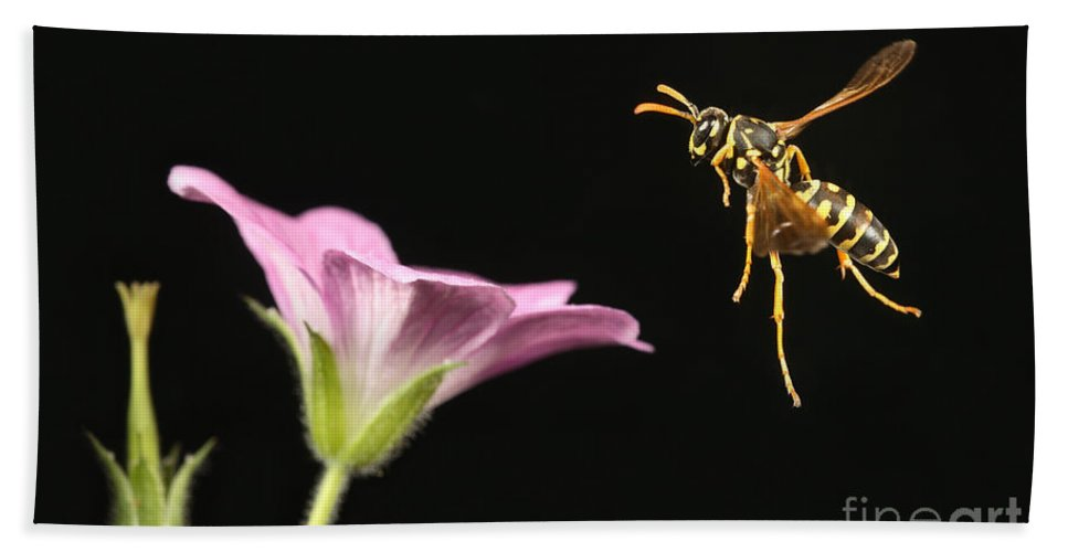 Eastern Yellow Jacket Hand Towel featuring the photograph Eastern Yellow Jacket Wasp In Flight by Ted Kinsman
