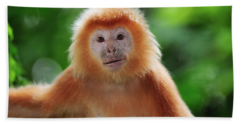 Mp Hand Towel featuring the photograph Ebony Leaf Monkey Trachypithecus by Thomas Marent