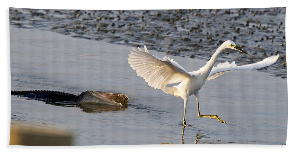 Alligator Bath Sheet featuring the photograph Egret Being Chased By Alligator by TJ Baccari