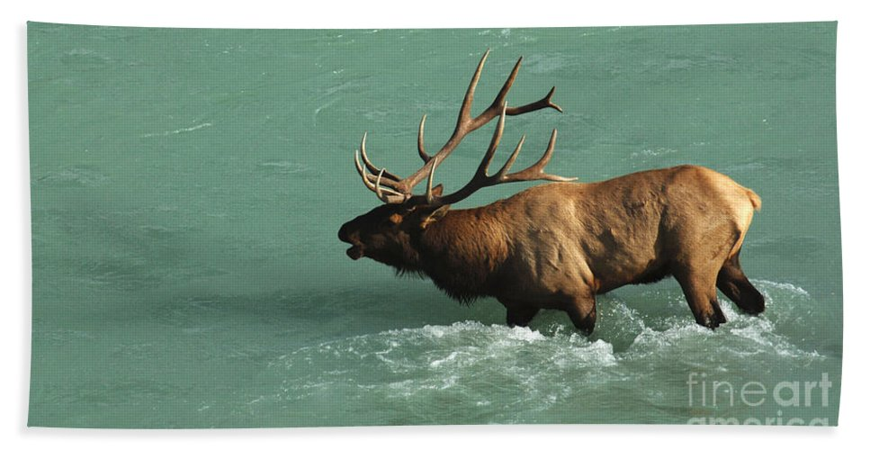 Elk Bath Sheet featuring the photograph Elk In The Athabasca River by Bob Christopher