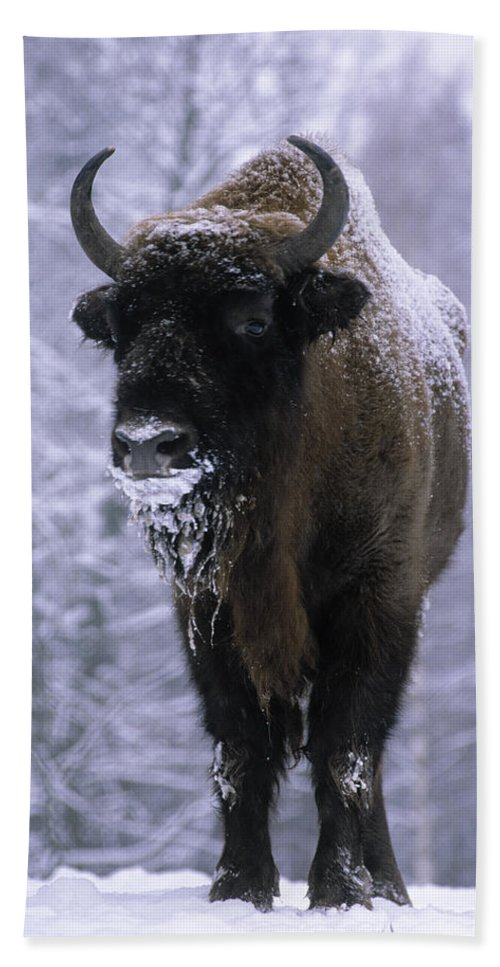 Fn Hand Towel featuring the photograph European Bison Bison Bonasus In Snow by Rinie Van Meurs