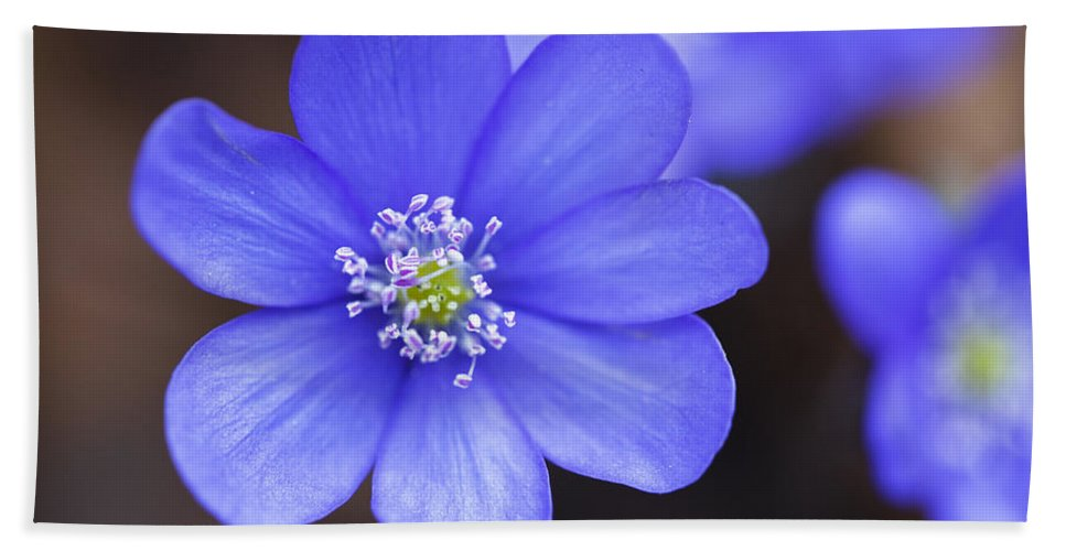 Mp Hand Towel featuring the photograph European Liver Leaf Hepatica Nobilis by Konrad Wothe