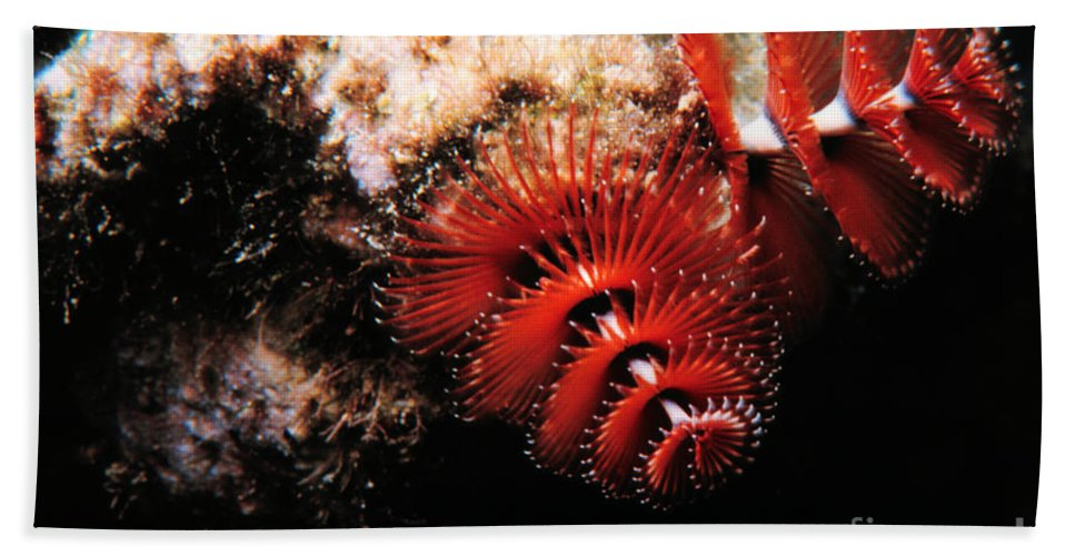 Feather Duster Worm Hand Towel featuring the photograph Feather Duster Feeding 2 by Mike Nellums