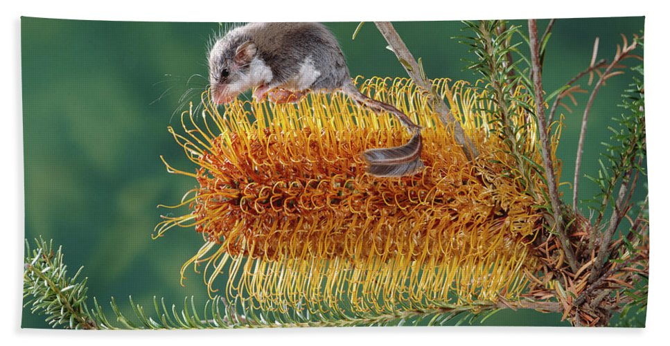 Ai Hand Towel featuring the photograph Feather-tail Glider Acrobates Pygmaeus by Jean-Paul Ferrero