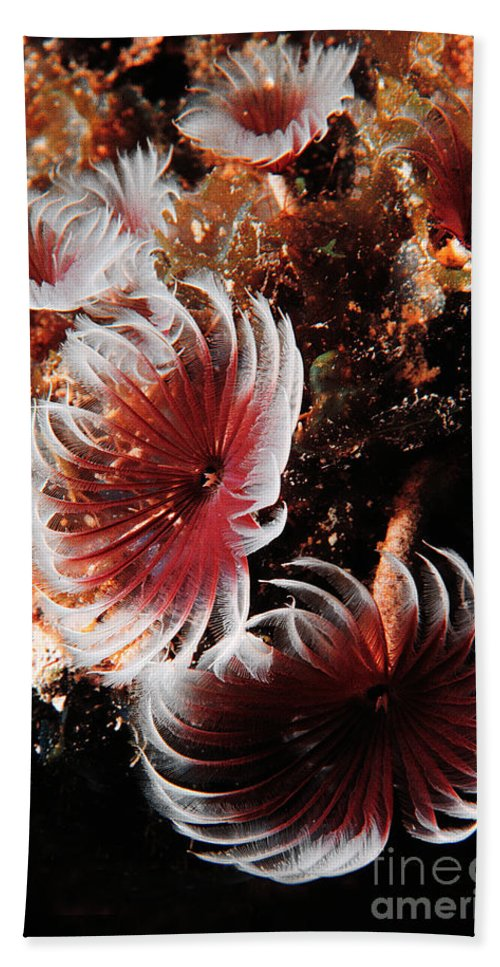 Underwater Bath Sheet featuring the photograph Feeding Feather Dusters by Mike Nellums