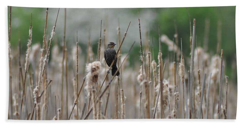 Female Redwinged Blackbird Hand Towel featuring the photograph Female Redwinged Blackbird by Bill Cannon