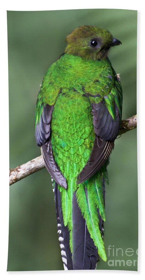 Bird Bath Sheet featuring the photograph Female Resplendent Quetzal - Dp by Heiko Koehrer-Wagner