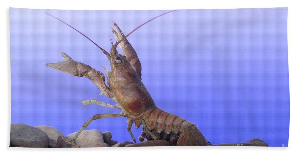 Fauna Hand Towel featuring the photograph Female Rusty Crayfish by Ted Kinsman