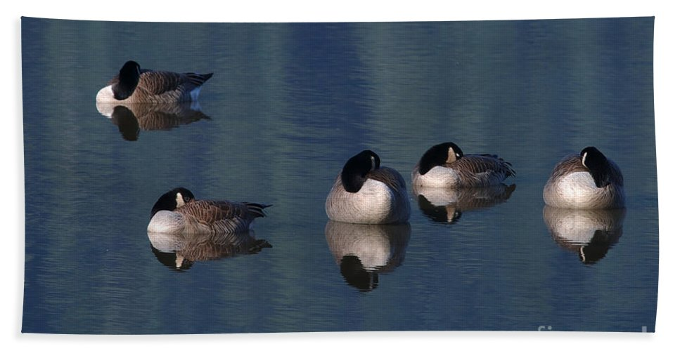 Canada Geese Hand Towel featuring the photograph Five Geese Napping by Sharon Talson