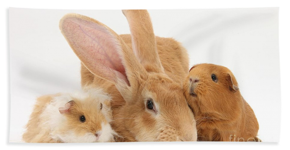 Nature Hand Towel featuring the Flemish Giant Rabbit With Guinea Pigs by Mark Taylor