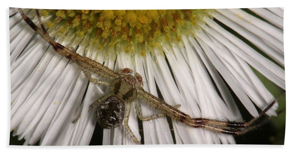 Nature Bath Sheet featuring the photograph Flower Spider On Fleabane by Daniel Reed