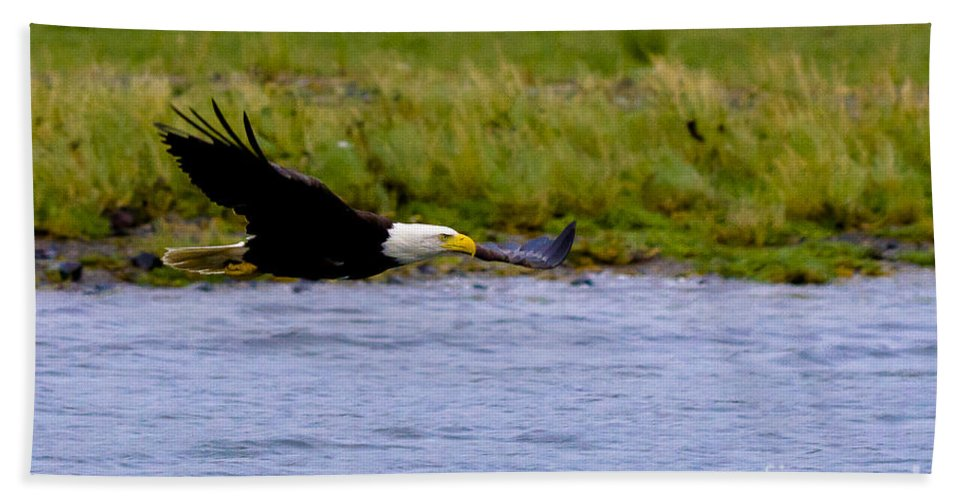 Alaska Bath Sheet featuring the photograph Flying Bald Eagle by Darcy Michaelchuk