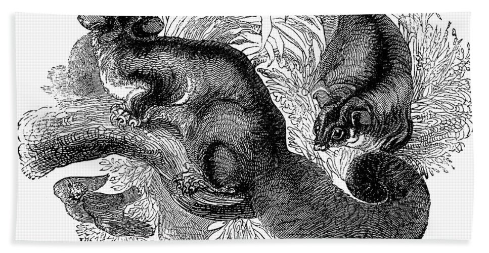 19th Century Hand Towel featuring the photograph Flying Squirrel by Granger