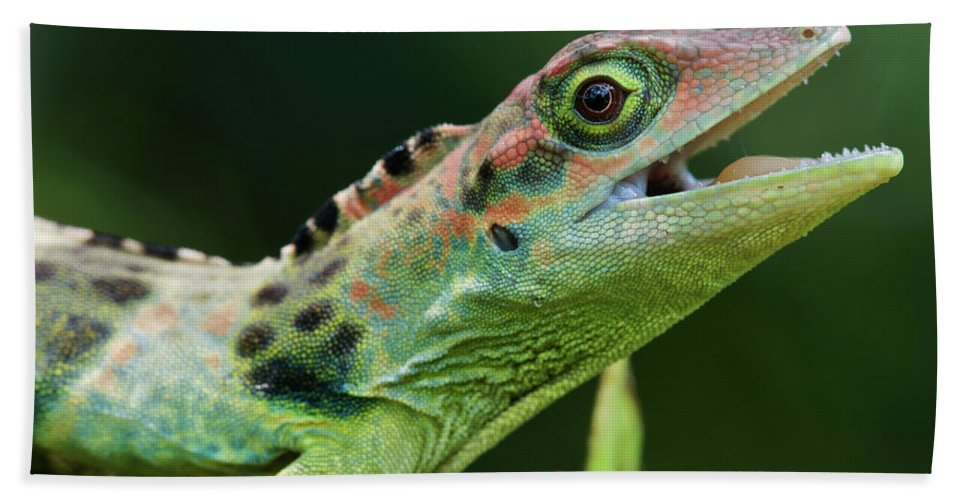 Fn Hand Towel featuring the photograph Frasers Anole Anolis Fraseri Male by James Christensen