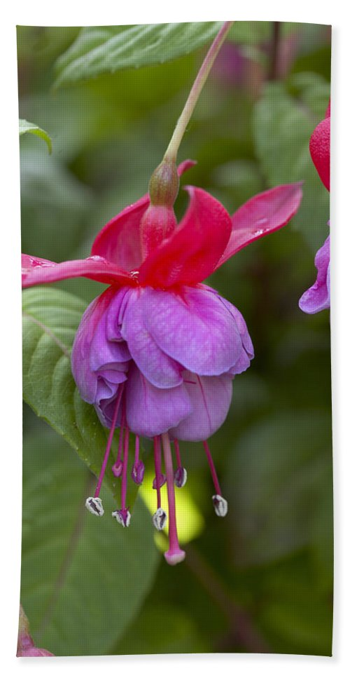 Vp Hand Towel featuring the photograph Fuchsia Fuchsia Sp Red And Blue Variety by VisionsPictures