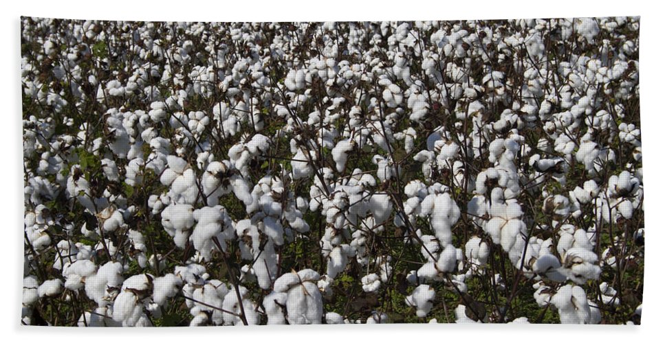 Cotton Hand Towel featuring the photograph Full Frame Alabama Cotton Crop by Kathy Clark