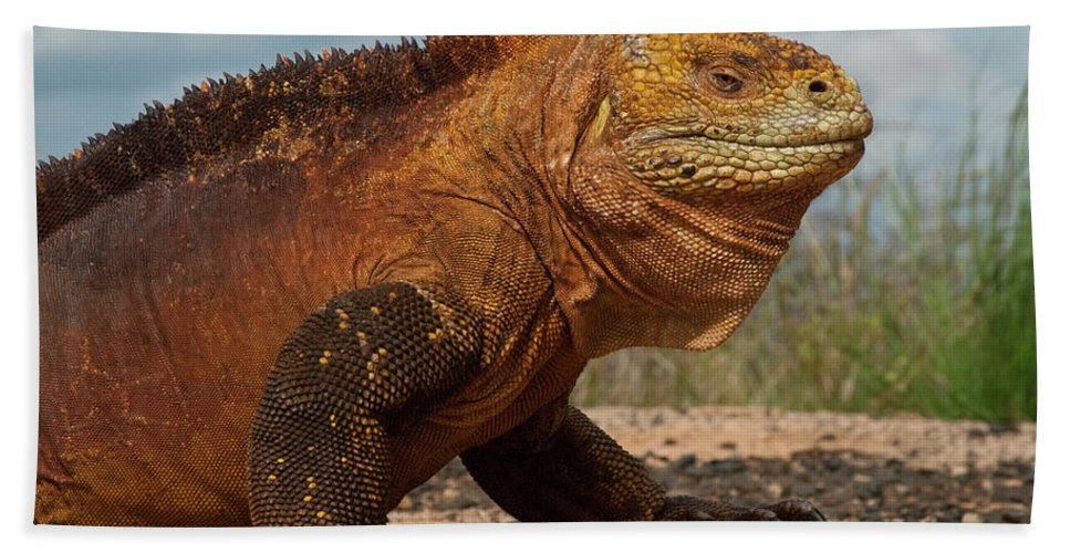 Mp Hand Towel featuring the photograph Galapagos Land Iguana Conolophus by Pete Oxford