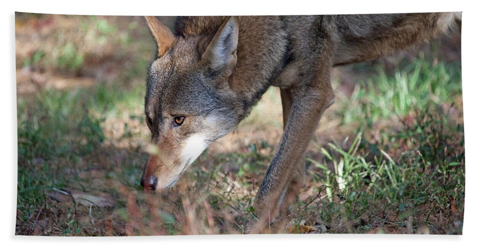 Wolf Hand Towel featuring the photograph Gentle Wolf by Karol Livote
