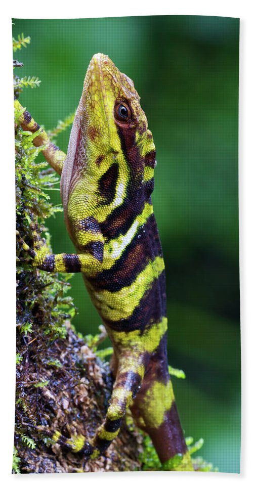 Fn Hand Towel featuring the photograph Giant Anole Dactyloa Microtus Male by James Christensen