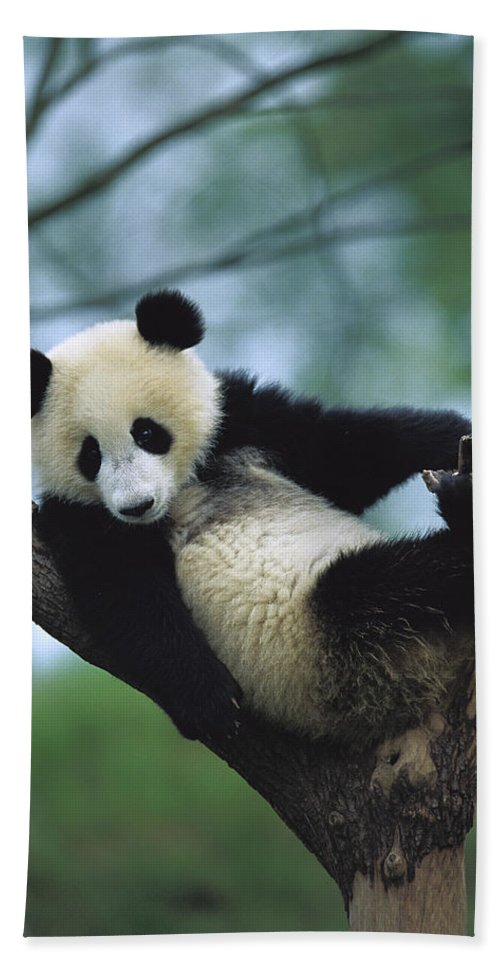 Mp Hand Towel featuring the photograph Giant Panda Cub Resting In A Tree by Cyril Ruoso