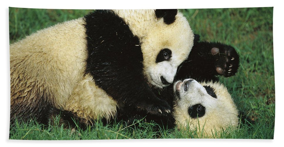 Mp Hand Towel featuring the photograph Giant Pandas Ailuropoda Melanoleuca Cubs by Cyril Ruoso