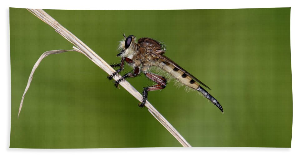 Nature Bath Sheet featuring the photograph Giant Robber Fly - Promachus Hinei by Daniel Reed