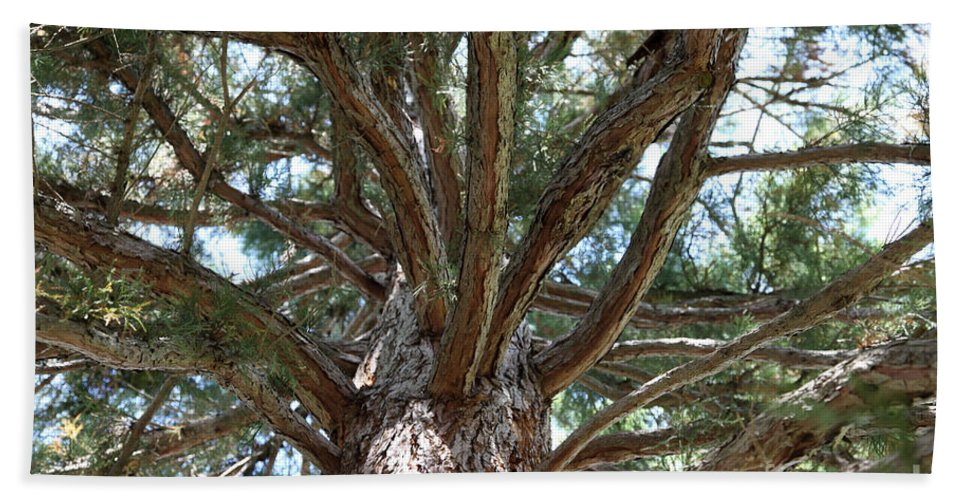 Giant Sequoia Hand Towel featuring the photograph Giant Sequoias by Ted Kinsman