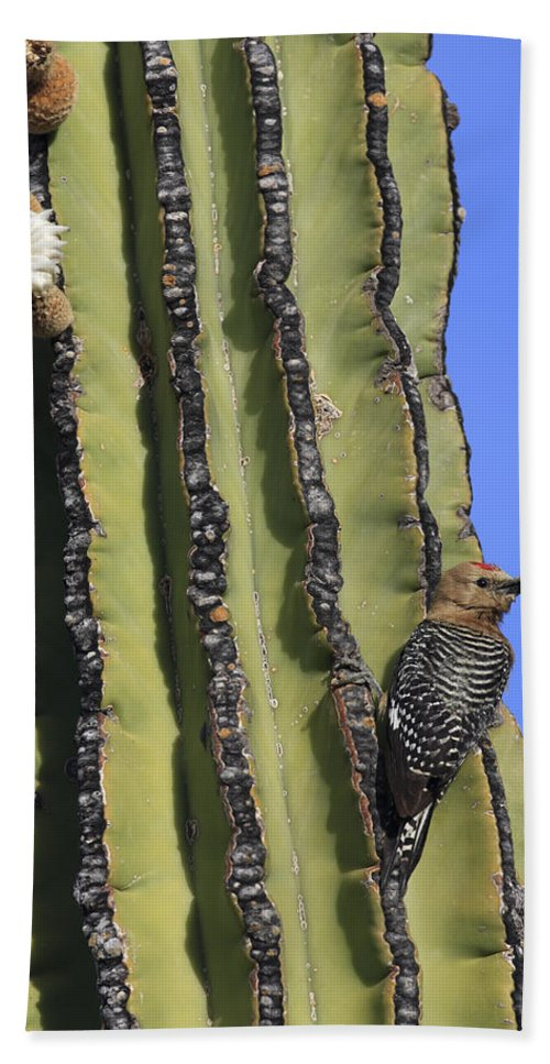 Mp Hand Towel featuring the photograph Gila Woodpecker Melanerpes Uropygialis by Cyril Ruoso