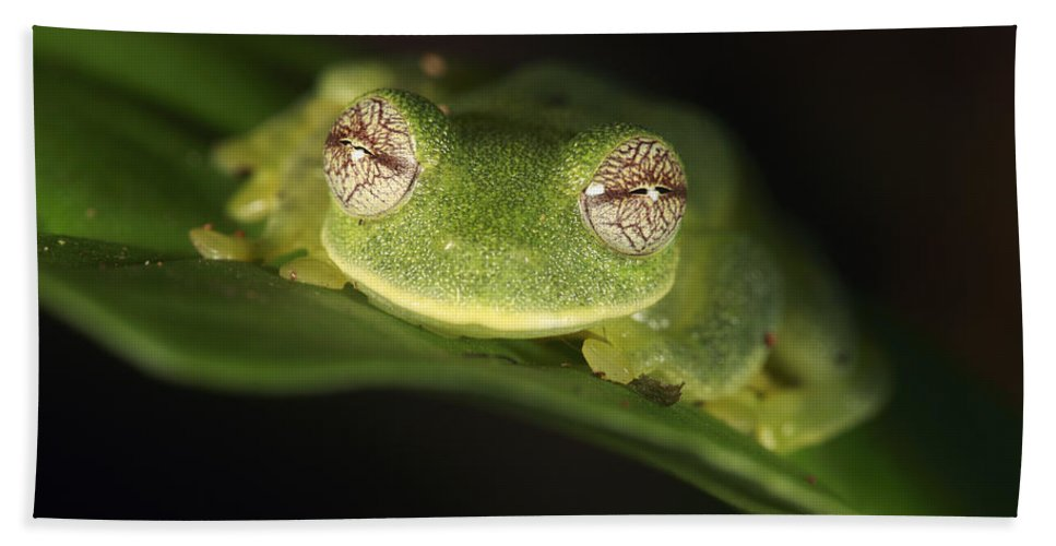 Mp Hand Towel featuring the photograph Glass Frog Centrolene Tayrona, Sierra by Cyril Ruoso