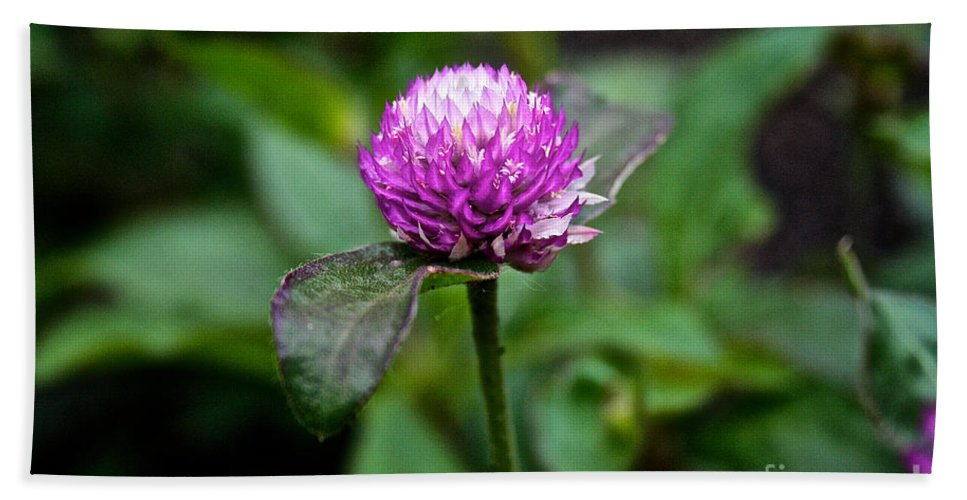 Floral Hand Towel featuring the photograph Globe Amaranth Bicolor Rose by Susan Herber
